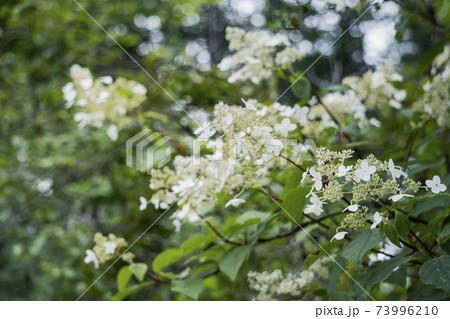 右下のノリウツギの花穂をクローズアップ 73996210