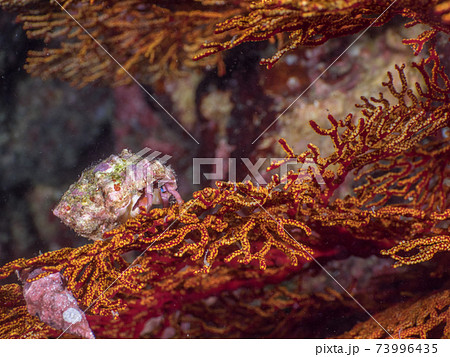ウミウチワの上に佇む小さなヤドカリ (メルギー諸島、ミャンマー) 73996435