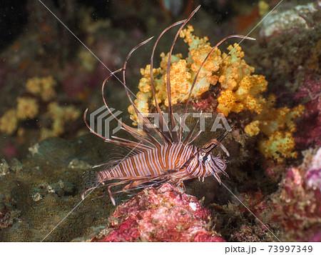 ハナミノカサゴの幼魚 (メルギー諸島、ミャンマー) 73997349