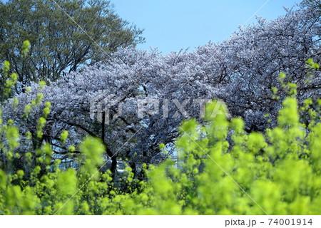 菜の花と桜が満開の河川敷の散歩道 74001914