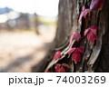 大木の根元の紅葉 74003269