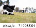 芝生で横たわるボーダーコリー 74003564
