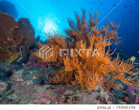 ウミカラマツの仲間 (メルギー諸島、ミャンマー) 74006106