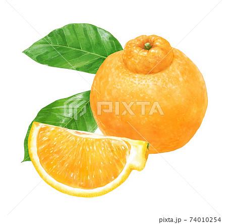 柑橘とその1/4カットと葉のリアルなイラスト デコポン 不知火 74010254