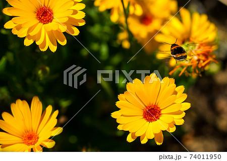 キンセンカの花に飛んできたマルハナバチ 74011950