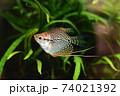 水槽の熱帯魚 74021392