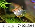 水槽の熱帯魚 74021394