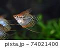 水槽の熱帯魚 74021400