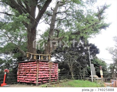 在りし日の大銀杏「むすびの樹」とピンクの絵馬、神奈川県藤沢市江ノ島(2016年夏) 74025888