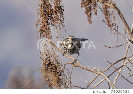 枝先で種を啄ばむツグミ 奥多摩12月 74026585