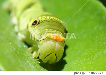 ナミアゲハ(アゲハ)の幼虫(臭覚・5齢) 74027274
