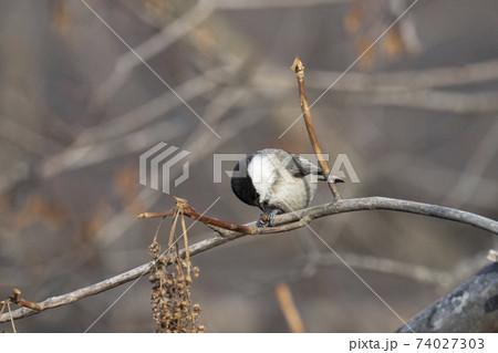 枝に止まり種を啄ばむコガラ 奥多摩12月 74027303