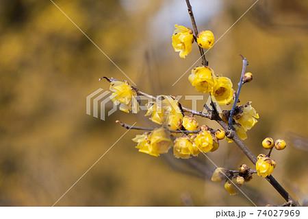 蝋梅の花 74027969