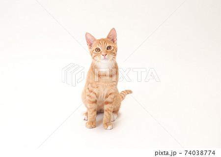 真っ直ぐにカメラを見る茶トラの子猫のビッケ 74038774