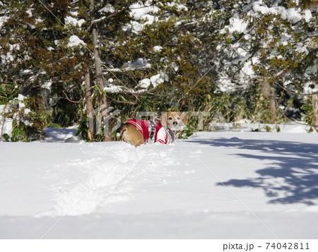雪山登山を楽しむビーグル犬 74042811