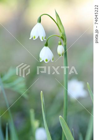 可憐な白い花(スノーフレーク、スズランスイセン) 74045222