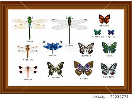 昆虫標本 トンボとチョウ 74056771