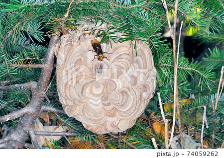 コガタスズメバチの巣(北海道・知床) 74059262