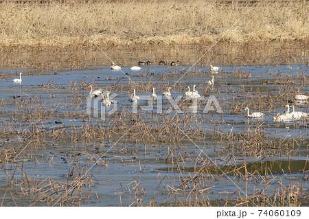 白鳥 鳥 アヒル 74060109