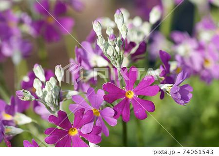 ピンク色のサクラソウ クローズアップ 74061543