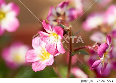 ピンク色のクモマグサの花 クローズアップ 74061553