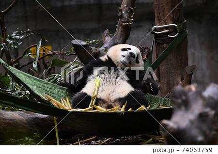 ハンモックから落下する赤ちゃんパンダ 74063759