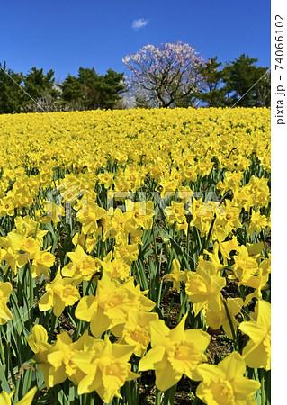 ひたち海浜公園 花咲くスイセンの丘 74066102