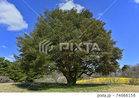 ひたち海浜公園 大きな木に花咲くスイセンの丘 74066156