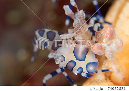 白い身体にオレンジと青の模様、フリソデの様な大きなハサミ、小さなエビのクローズアップ1 水中写真 74072821