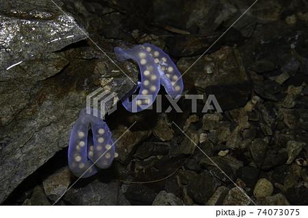水の中で青く輝くヒガシヒダサンショウウオの卵嚢 74073075