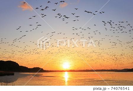冬の伊豆沼の朝の飛び立ち 74076541