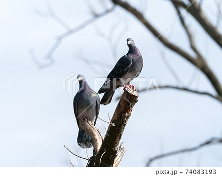 木の上の鳩 74083193