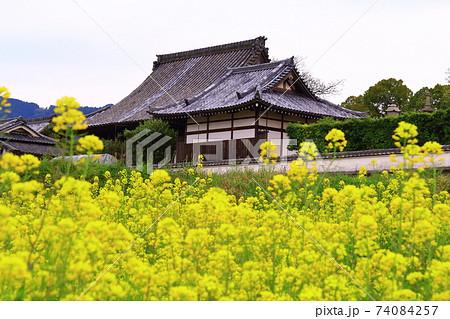 橘寺(奈良県 明日香村)の周辺に咲く菜の花 74084257