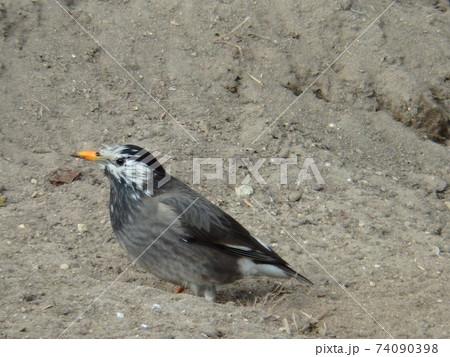 梅田川沿いにある畑の土に肢が埋まってしまったムクドリ 74090398