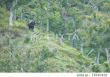 知床の森で出会ったヒグマ(北海道) 74092820