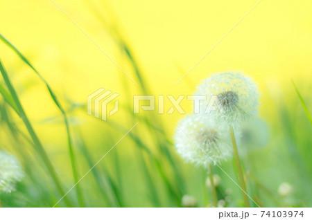 菜の花の黄色をバックにふんわりタンポポ 74103974