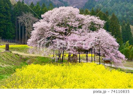 信州高山村 満開の黒部のエドヒガンザクラと菜の花 74110835