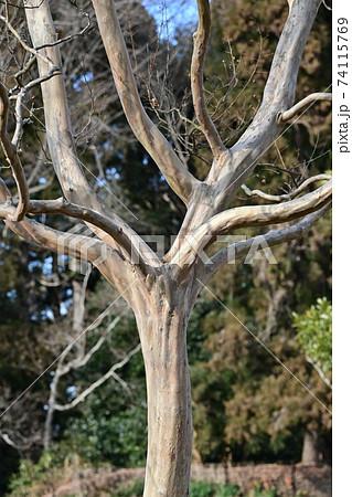 つるっとした特徴的な樹皮がよく見える落葉後のサルスベリ 74115769