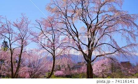 信州白馬村 大出公園北アルプスを背に咲き競う桜満開 74116141