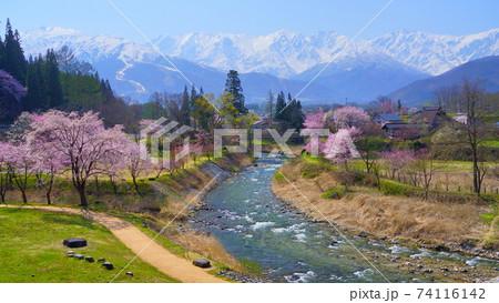 信州白馬村 大出公園の桜と春霞に霞む北アルプス 74116142