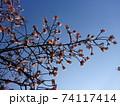 青空に浮かぶあたみ桜 74117414