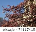 あたみ桜 74117415