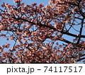 あたみ桜 74117517