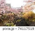 糸川とあたみ桜 74117519