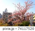 あたみ桜 74117520