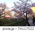 糸川とあたみ桜 74117522