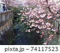 糸川とあたみ桜 74117523