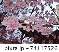 あたみ桜 74117526