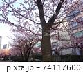 あたみ桜 74117600