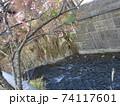 糸川とあたみ桜 74117601